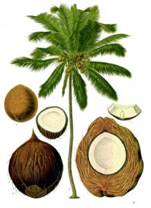 Que es un coco